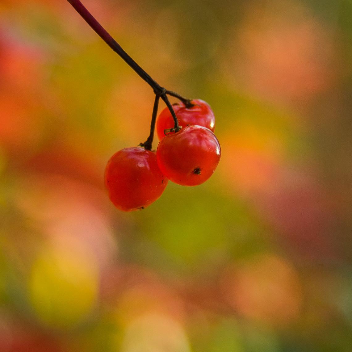 Soapberry - Tarius Design, Whitehorse, Yukon (Canada)